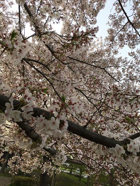 谷戸山の桜