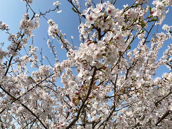 ルモンドの桜